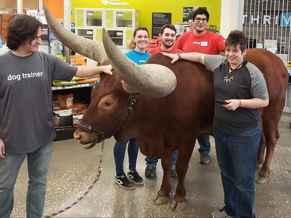 Man brings massive steer into Petco to test 'all leashed pets are welcome' policy